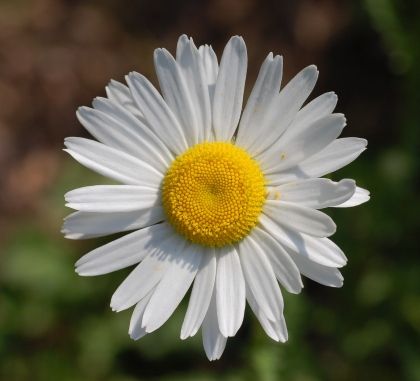 Leucanthemum_vulgare_'Filigran'_Flower_2200px.jpg